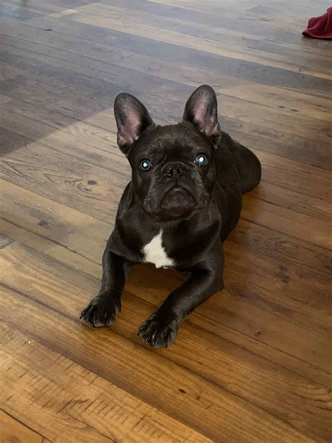 Frenchie Puppy For Sale - Petclassifieds.com