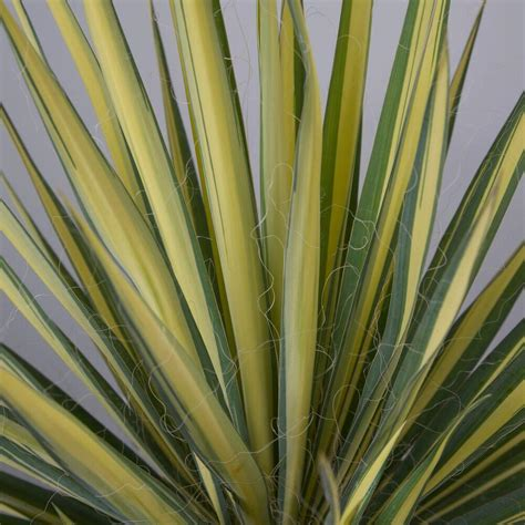 vigoro 2 gal color guard yucca 58383fl the home depot