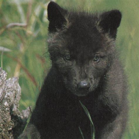 wolf hybrid black wolf hybrid yippie pinterest