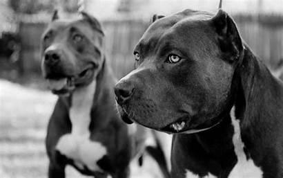 Dog Pit Bull Wallpapers Pitbull Bulls Terrier