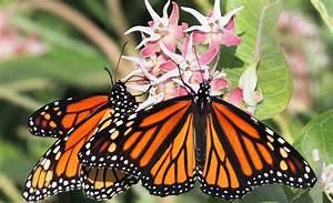 Declining Monarch