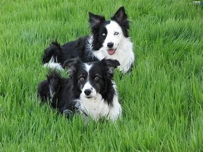 Border Collie Grass Dog Puppies Cars Wallpapers