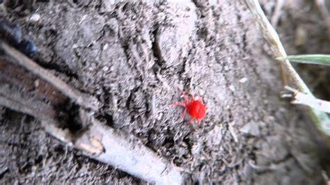 rote mini spinne kleine rote spinnentiere kleine rote spinnen wir sind im