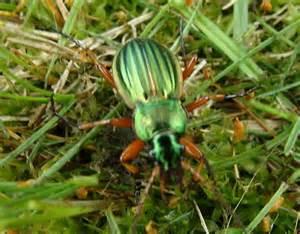 Large iridescent green beetle - Carabus auratus - BugGuide.Net