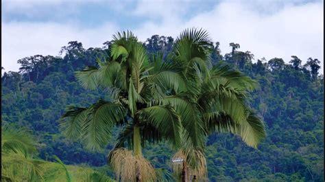 flora brasileira PALMEIRAS NA PAISAGEM fotografia de ...