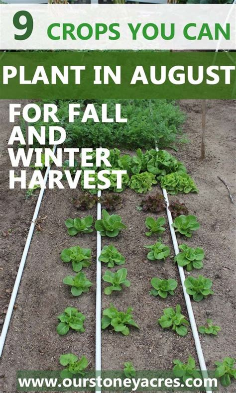 what can you plant in the fall 9 crops you can plant in august for fall and winter harvest this post lets you know what crops