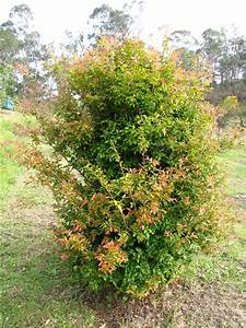 jaboticaba tree myrciaria cauliflora