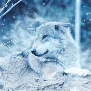 Wallpaper Wolf, Wild, Snow, Winter, Cold, HD, Animals, #10060