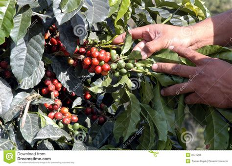 Coffee-tree, Guatemala 01 Stock Photo. Image Of Guatemala Aged Sumatra Green Coffee Beans Price Scooters Pumpkin Monkey Poop Cold Brew Ratio Recipe Strength Gayoland Clean Maker With Simple