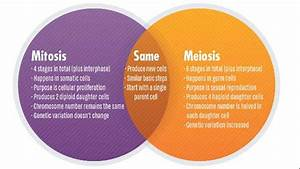 Photos  Mitosis And Meiosis Stages Quizlet
