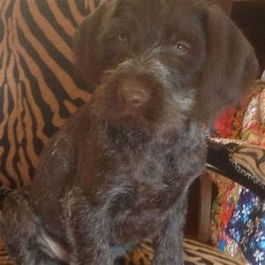 German wirehaired pointer puppies   Newcastle Upon Tyne ...