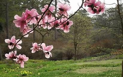Magnolia Sakura Nice Branch Greens Desktop Wallpapertag