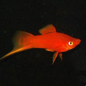 Red Swordtail m l Aquatics To Your Door