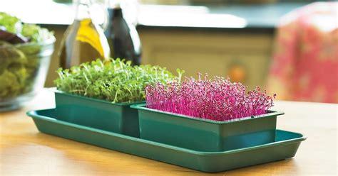 microgreens growing grow garden balcony