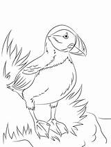 Puffin Horned Coloring sketch template
