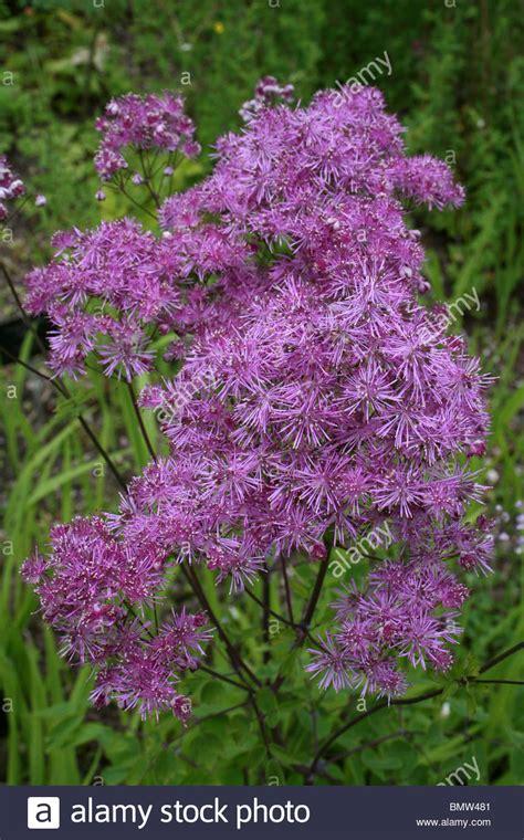 Pinky Purple Fluffy Flower Of Meadowrue Thalictrum 'black