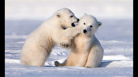 Cute Baby Polar Bear Cubs