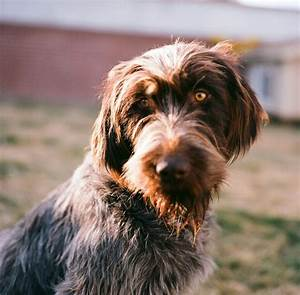 112 best Wirehaired Pointing Griffon images on Pinterest ...