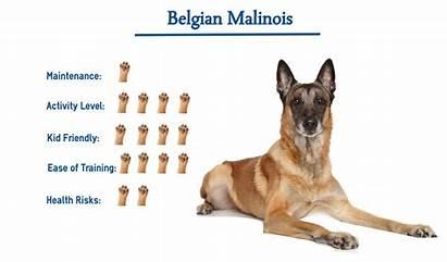 Malinois Belgian Dog Dogs Types Puppy Shepherd