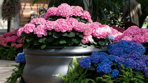 hortensien wann pflanzen hortensien im topf 6