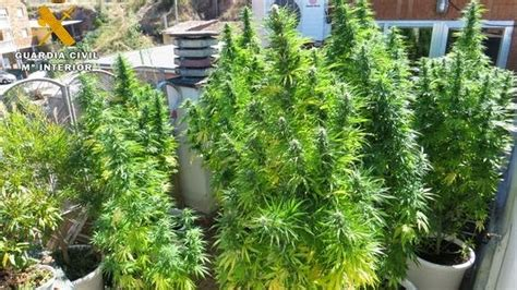 Detienen a dos personas por cultivar 123 plantas de ...