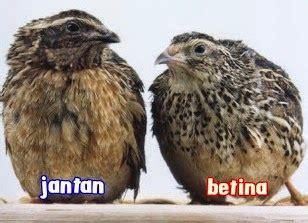 Mengenal lebih dekat burung gunung si flamboyan di lengkapi dengan perbedaan jantan dan betina. PERBEDAAN BURUNG PUYUH JANTAN DAN BETINA - Ragam Cara Beternak