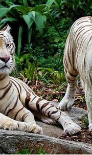White Tiger HD Wallpaper | Background Image | 3623x2335 ...