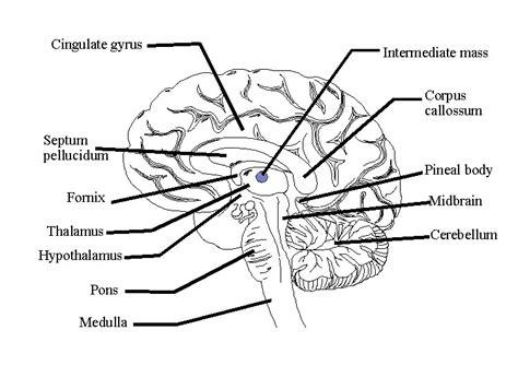Label Brain Diagram by Brain Image Brain Functions Diagram