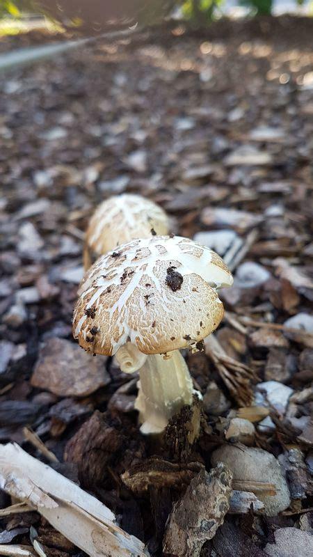 Pilze Im Garten Durch Rindenmulch by Was Ist Das F 252 R Ein Pilz Pilzbestimmung U