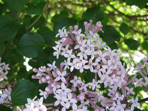 5 vari 233 t 233 s de lilas 224 planter