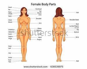 Medical Education Chart Biology Female Body Stock Vector ...