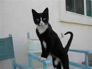 cat tuxedo what breed is a tuxedo cat cats types