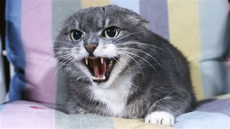 si鑒e med katzen die sprache der katzen katzen haustiere