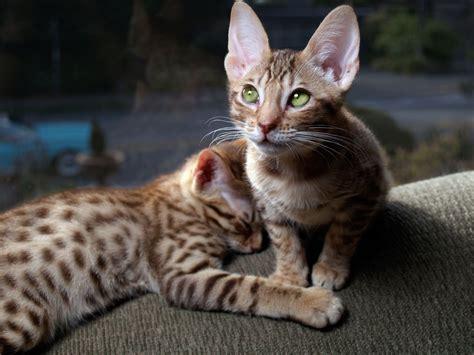 ocicat cat domestic cats breeds tigers bengal ears between hypoallergenic breed allergies looking types ear history ocelot kittens distinguish adorable