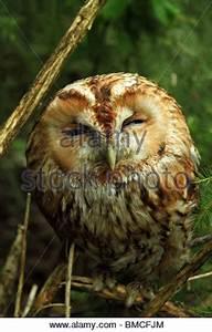 Eurasian tawny owl (Strix aluco), pellet of an Eurasian ...