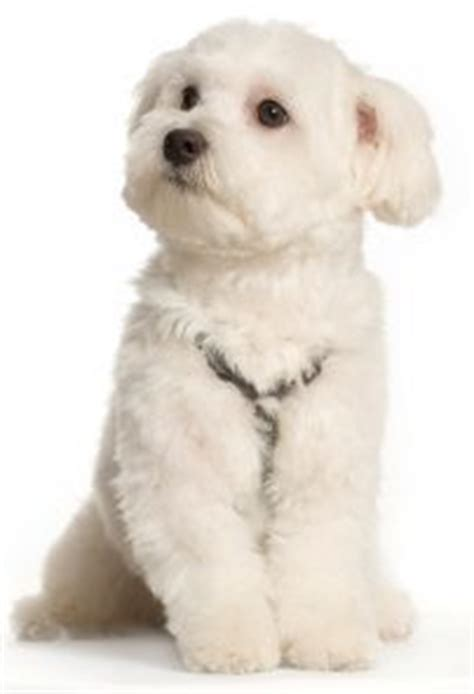 Which Dogs Do Not Shed Their Coat by Top 30 Dogs That Don 100 Images Curly Haired Dogs