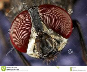 House Fly Eyes Royalty Free Stock Image - Image: 28508566
