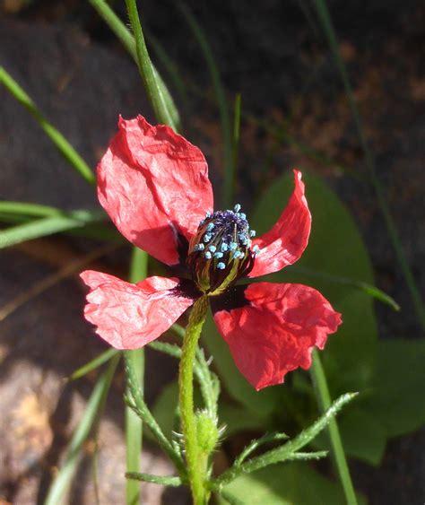 https://www.teline.fr/fr/photos/papaveraceae/papaver-hybridum