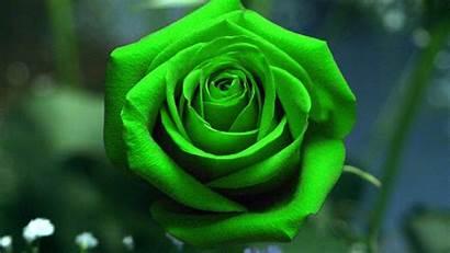 Wallpapers Roses Rose Dark Px