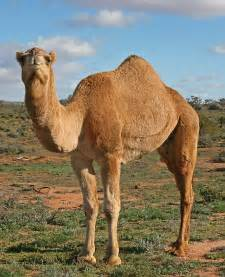 Much Ado About Camels… in the Bible | Coat of Many Colors ...
