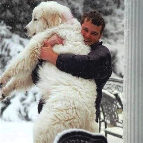 1000+ images about Bear dog on Pinterest   Poodles, Guys