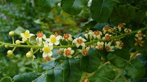 growing frankincense trees in trouble grim future for frankincense wfsu