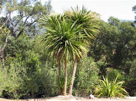 cordyline australe cordyline australis planter cultiver