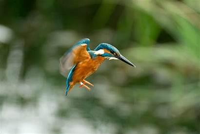 Kingfisher Flying Hovering Bird Gifs Animal Birds
