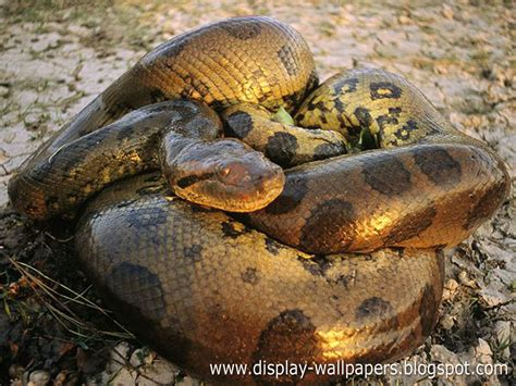 great anaconda snake wallpapers  wallpaper