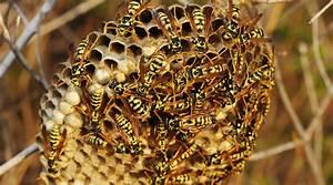 Se Débarrasser Des Guepes : comment se d barrasser des nids de gu pes pour de bon ~ Melissatoandfro.com Idées de Décoration