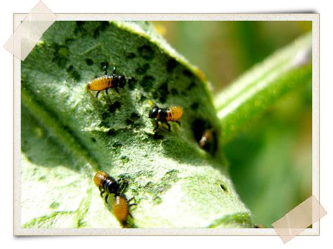 3 simple pest remedies for the garden a growing culture