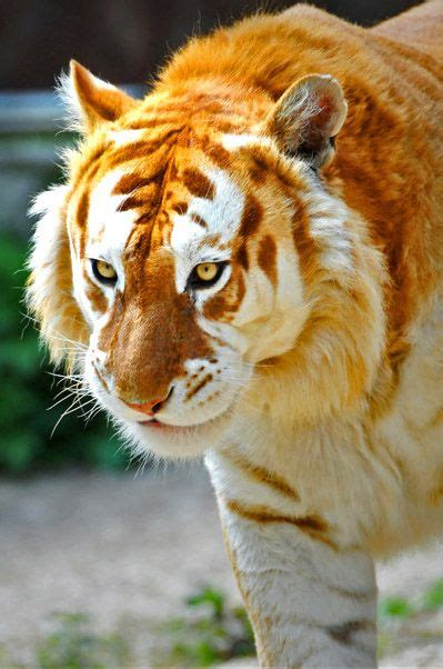 What Color Matches Your Personality Tigers Animals
