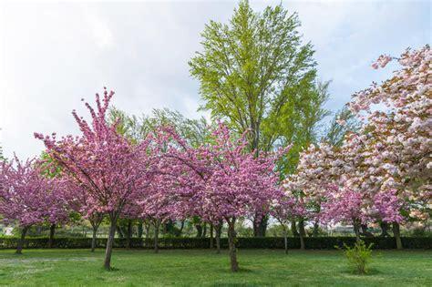 alberi con fiori rosa alberi con i fiori rosa in primavera immagine stock