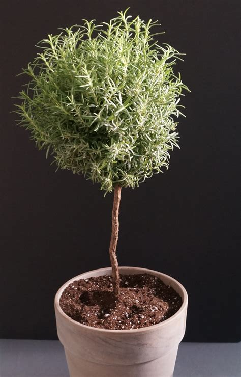 rosemary topiary potted topiary tips that maximize greenery